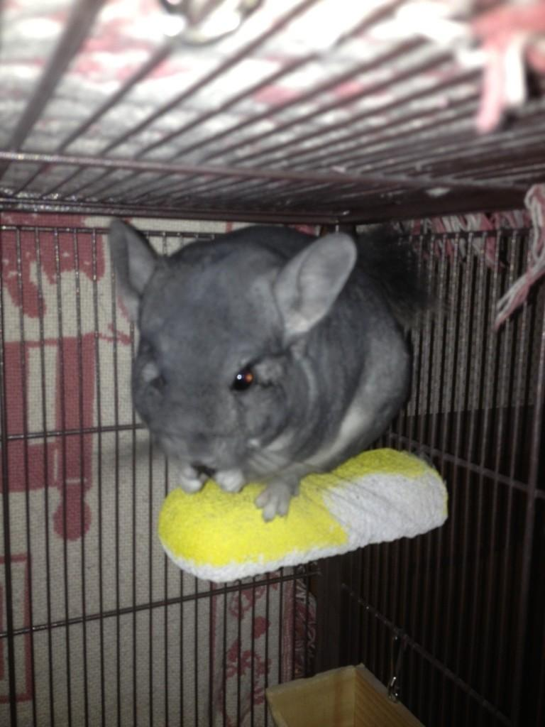 Burrito+the+chinchilla+passes+away