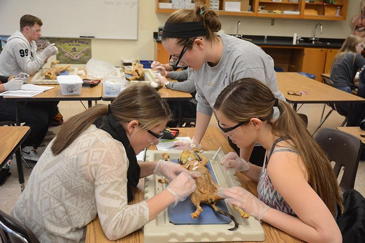 Seniors Sunny Carolus and Sydney Boyle, and junior Avery Maresca dissect a cat during Anatomy. The Anatomy students have been dissecting cats during second semester.