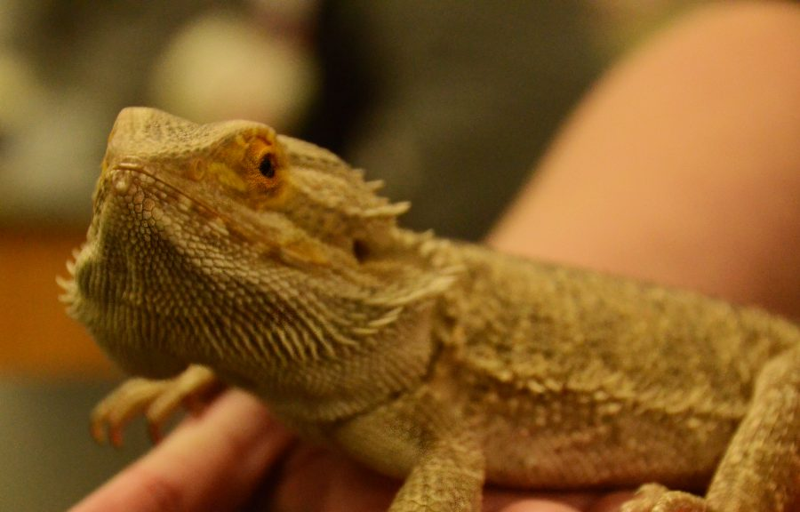 Gumby the bearded dragon surveys the room during science class. Students use some of these animals for presentations to elementary students