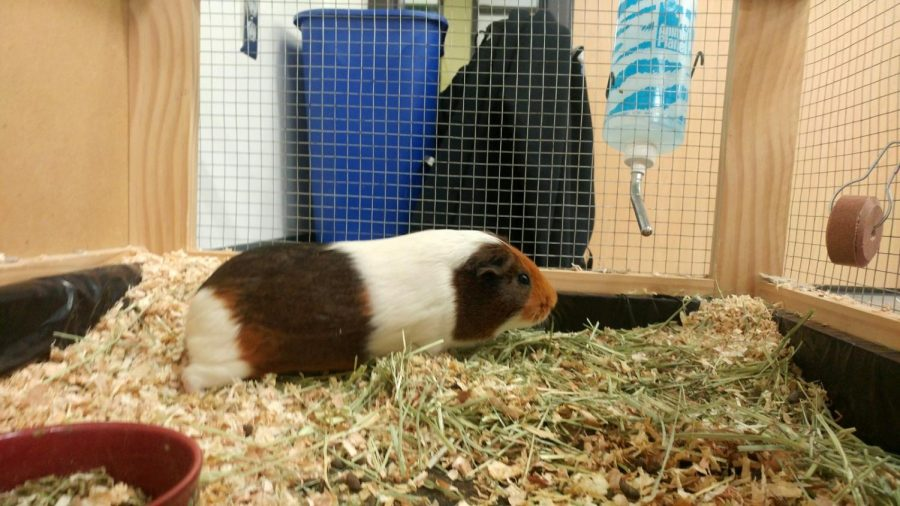 One of the remaining guinea pigs sits in his cage. Penelope the guinea pig likely passed away due to separation.