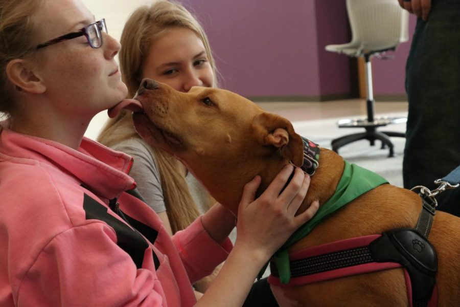 A therapy dog from the Therapets program licks student Brooke Meyer '20, during dragon time.