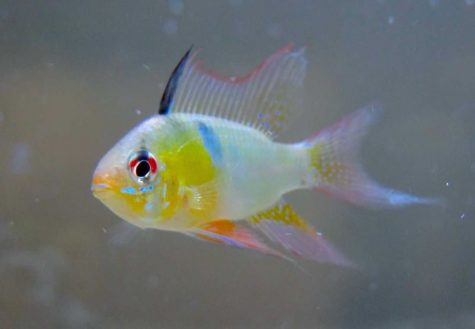 The German Blue Ram Cichlid is native to Venezuela and Columbia.
