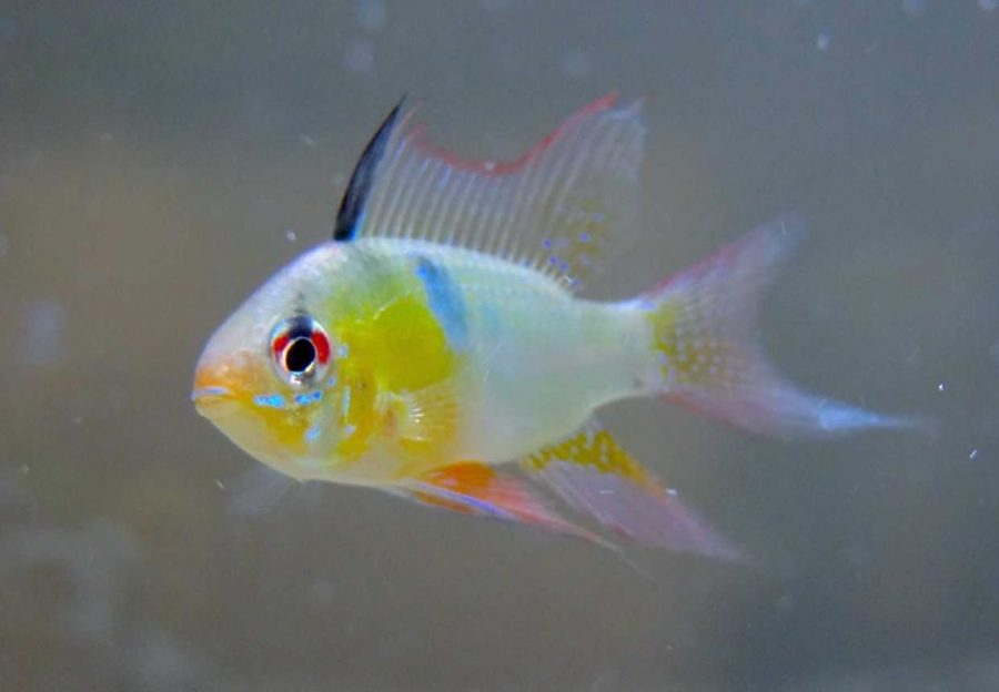 The+German+Blue+Ram+Cichlid+is+native+to+Venezuela+and+Columbia.